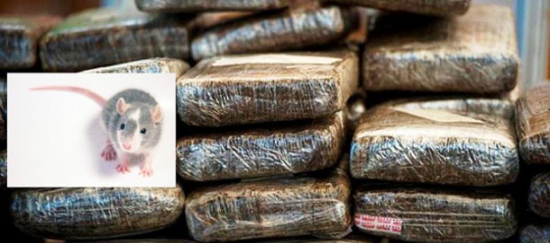 Policías aseguran que ratas consumieron 540 kg de marihuana decomisada