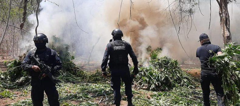 *A través de sobrevuelos, Policía Estatal localiza plantío de presunta mariguana en Mazatlán*