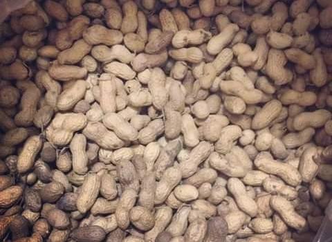 Buena producción de cacahuate pero desánimo porque Financiera Nacional niega créditos a productores mocoritenses
