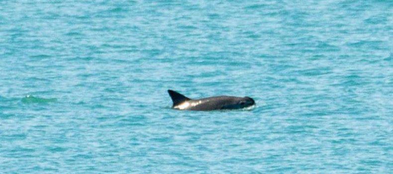 El avistamiento de 6 vaquitas marinas revive la posibilidad de salvarlas de la extinción